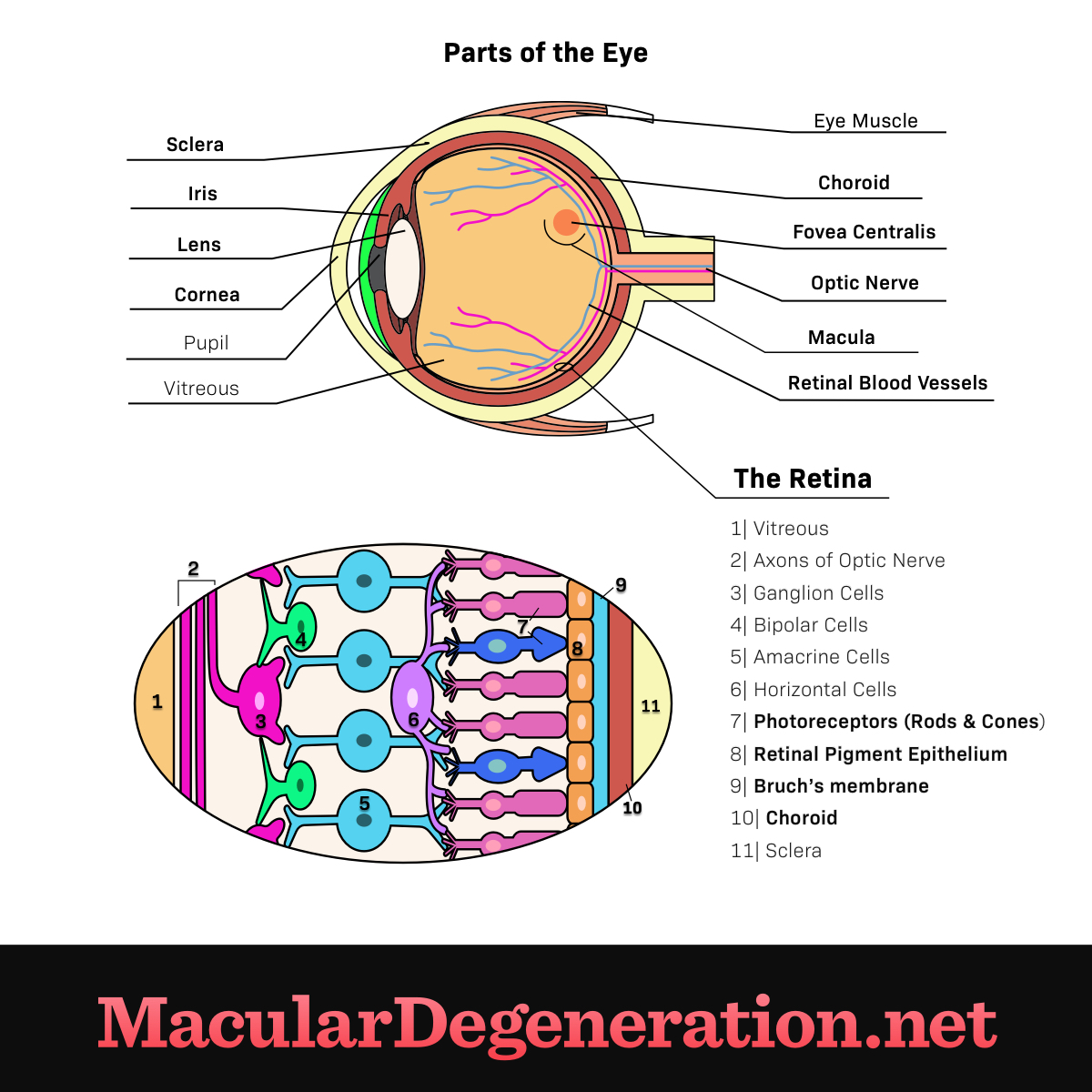 parts of the eye including the iris, lens, choroid, and a more in depth view of the components of the retina
